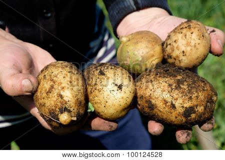 Potatoes In The Hands