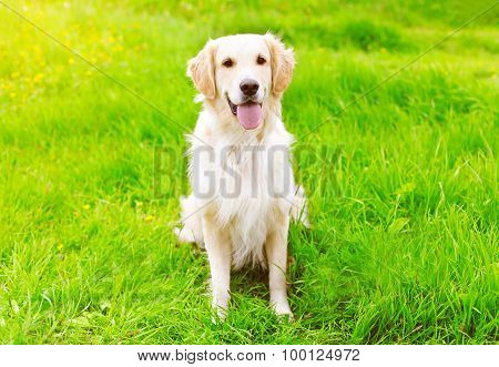 Happy Golden Retriever Dog Sitting On The Green Grass Summer
