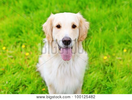 Portrait Of Golden Retriever Dog Sitting On The Green Grass Summer