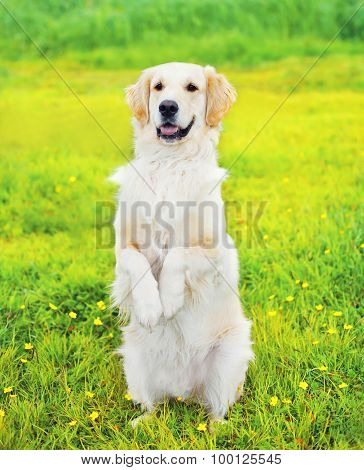 Smart Obedient Golden Retriever Dog Executes The Command, Standing On Its Hind Paws On The Grass In