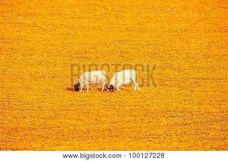 Sheep In A Carpet Of Flowers