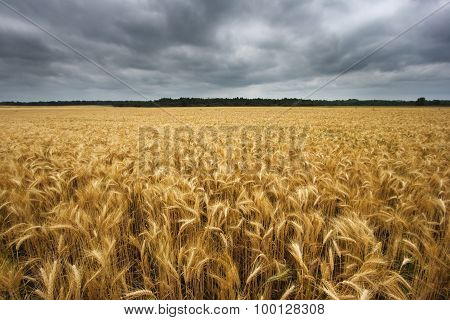 wideangle wheat field with cloudy sky