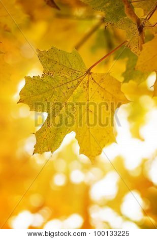 Maple leaf in sunshine