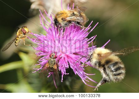 honey bees and hover fly on thistle