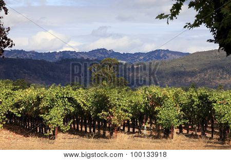 Vineyard Of Napa In California.