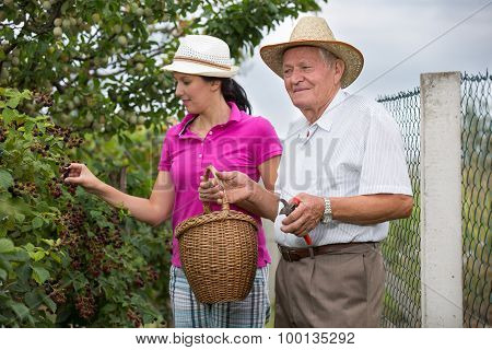 Senior man an young woman picking blackberries on a farm