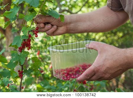 Harvest Of Red Currants