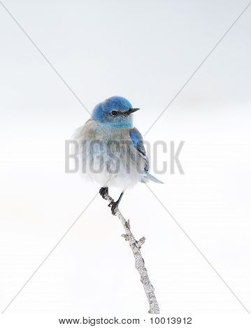 Solitary Male Mountain Bluebird Perched On Branch