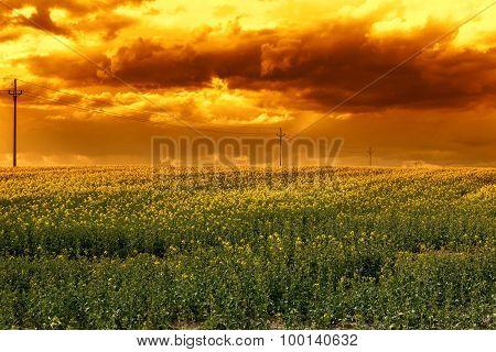 Rape field in the sunset