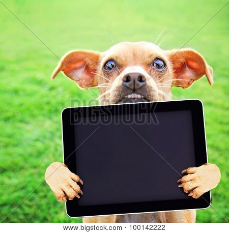 a cute chihuahua with her paws in the air holding a blank tablet on green grass toned with a retro vintage instagram filter