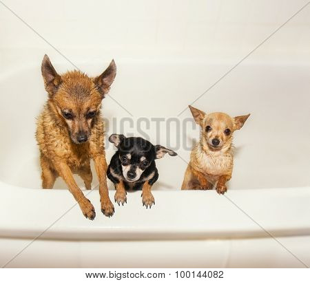 three tiny chihuahuas in a  bathtub shivering and soaking wet begging to get out