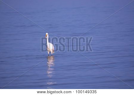 Great White Egret in Bay