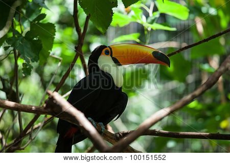 Toco toucan in the reserve of exotic tropical birds. Large bird with bright plumage and a huge yellow beak