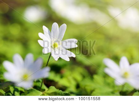macro view on snowdrop flowers in sunlight
