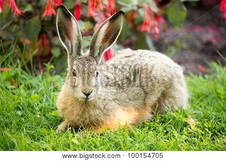 European Hare Close-up