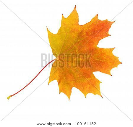 Autumn Maple Leaves Isolated On White