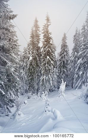 Winter landscape with snow-covered fir trees and snowdrifts. Christmas view. Color toning