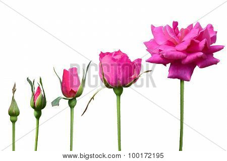 Pink Rose grow 5 time isolate on white background