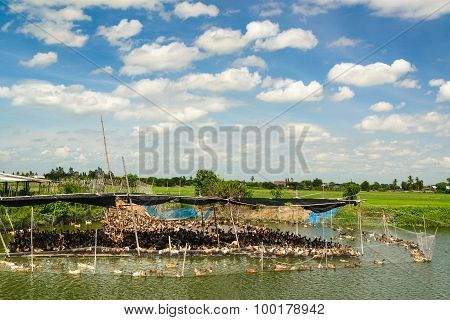 Duck In Farm, Eat And Swimming In Marsh.