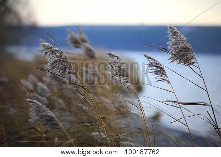 Group Of Reeds