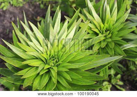 Beautiful lily stems with green leaves