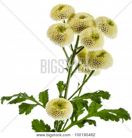 Cream Chrysanthemum Flowers, Isolated On White Background