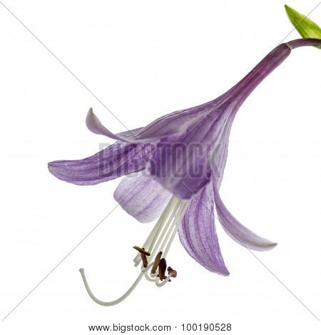 Purple Flower Of The Hosta (funkia), Isolated On White Background