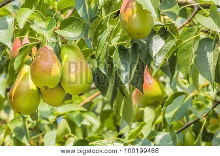 Pears On A Branch In A Garden, Close Up
