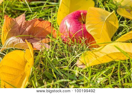 Apple Close-up Among The Yellow Leaves In The Grass