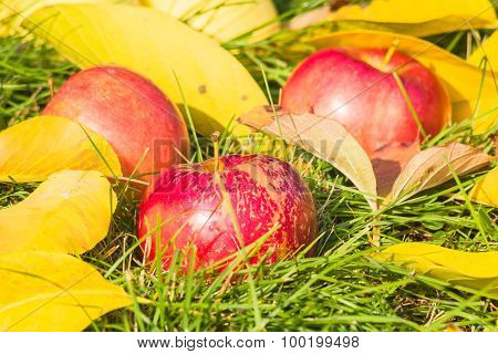 Apples Close-up Among The Yellow Leaves In The Grass