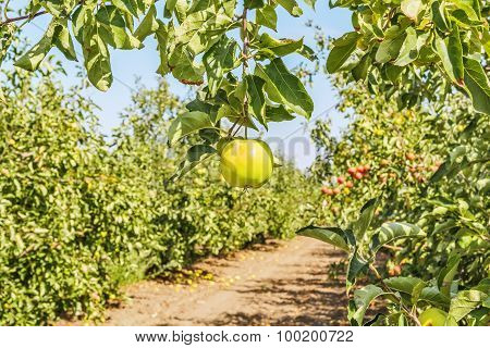 Apple On A Branch Against The Backdrop Of An Orchard