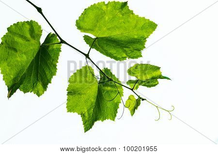vine and leaves isolated