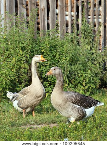 Geese on the farm.. Shooting outdoors. Rustic theme.