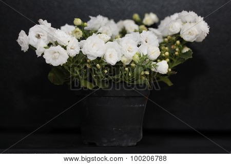 White campanula in flowerpot isolated on black