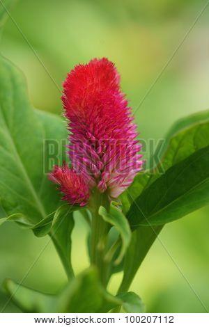 Cockscomb Pink  Flowers