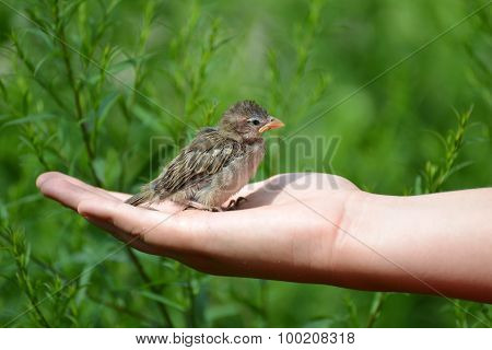 Young yellow-beaked sparrow sits on  children's palm