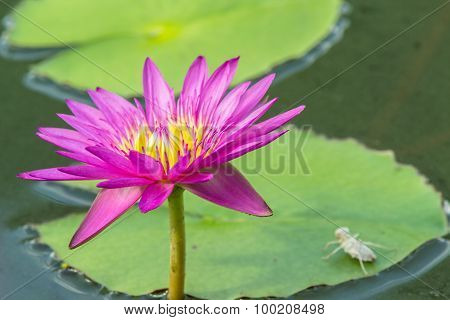 Lotus Flower A Beautiful Pink Waterlily In Pond