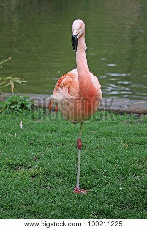 A Flamingo Standing Near A Pond