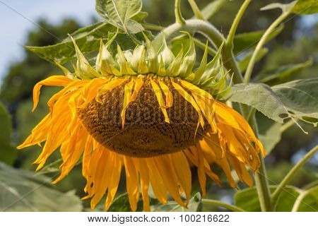 Single Wilted Sunflower Plant