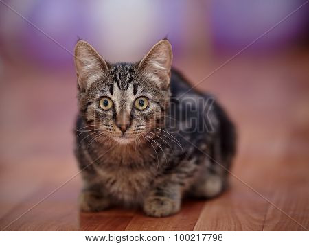 Striped Domestic Kitten