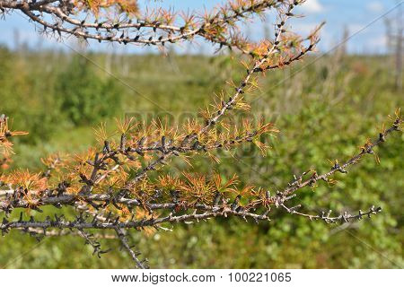 Yellowing Larch In The Taimyr Tundra.