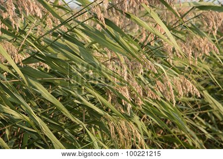 Common Reed Plants