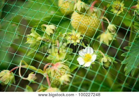 Strawberry In Farm