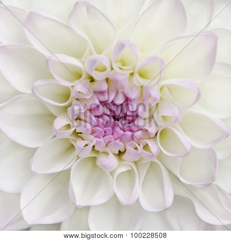White Dahlia Flower Close Up view
