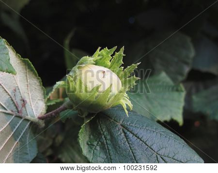 Green Hazelnut On The Tree In A Garden In Tuscany, Italy