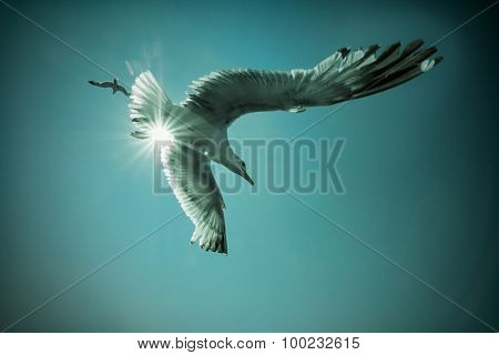 Seagull In Flight Wideangle