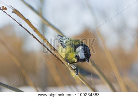 Blue tit sitting on a branch under winter sunlight and locating for food