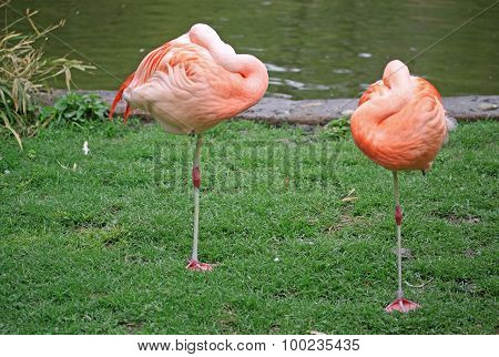 Flamingo With It's Head Tucked In Sleeping