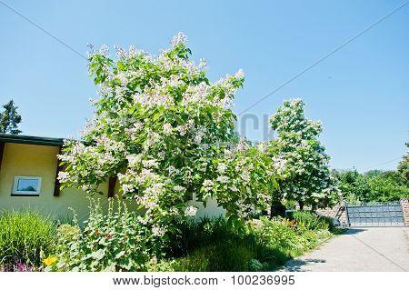 Tree Catalpa With Blossom On Blue Sky At Sunny Day