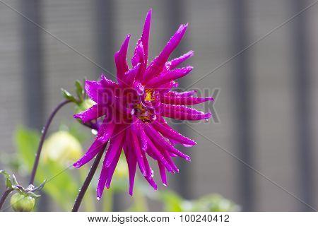 Magenta Flower Of Dahlia On Blurred Background